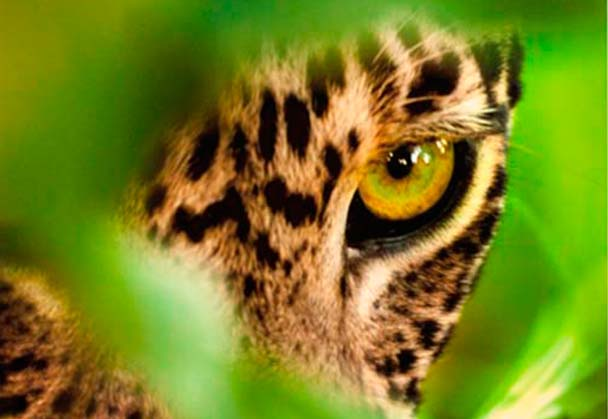 Sale of Leopard Photograph to Assist Rhinos without Borders